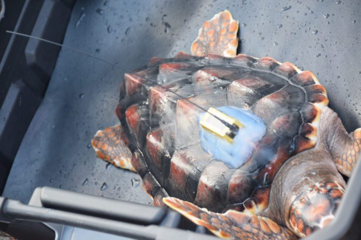 Ayear-old turtle isfitted withalocationtracking device before being released.Photo:AshitaGona
