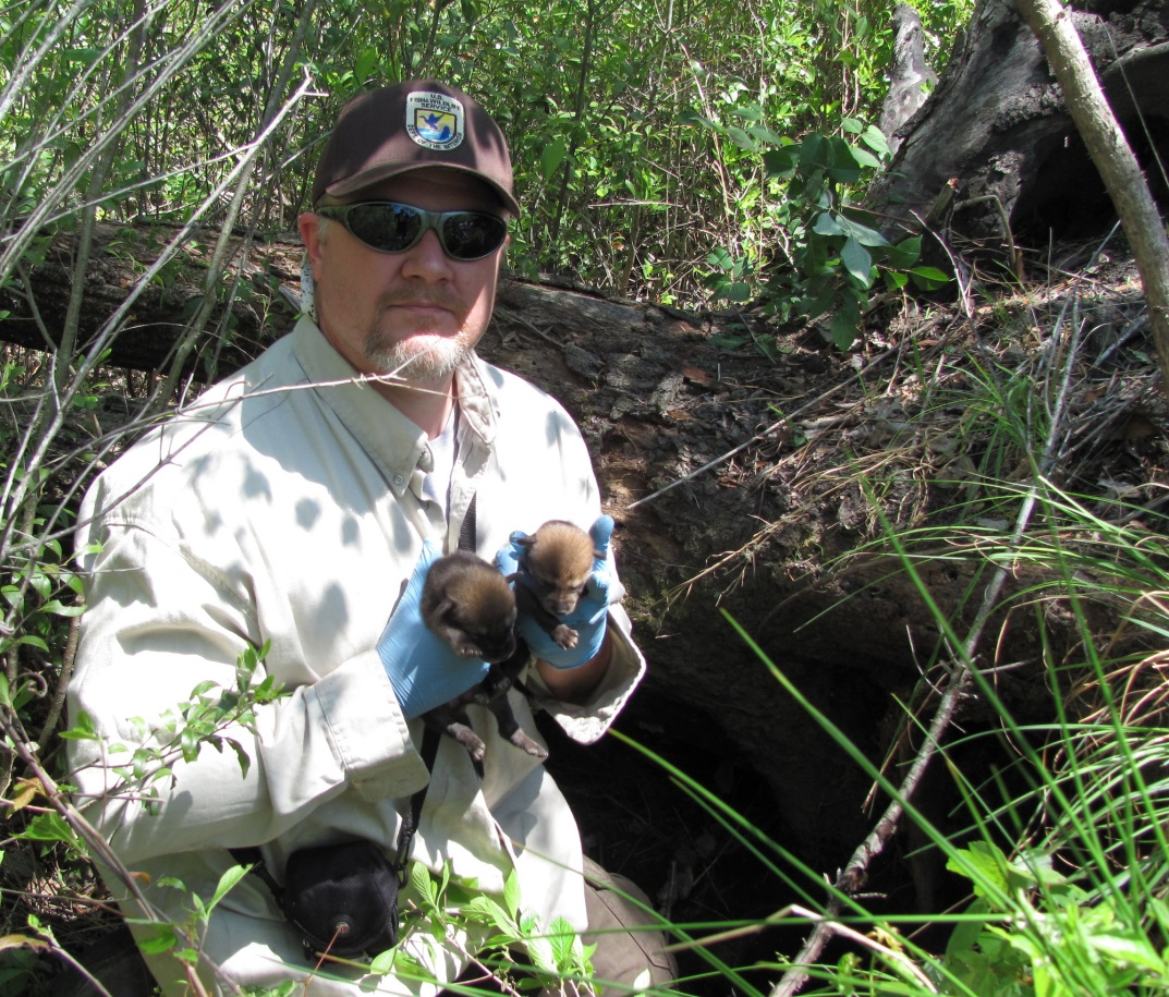David Rabon is the former coordinator of the red wolf recovery program in Alligator River. Photo: canids.org