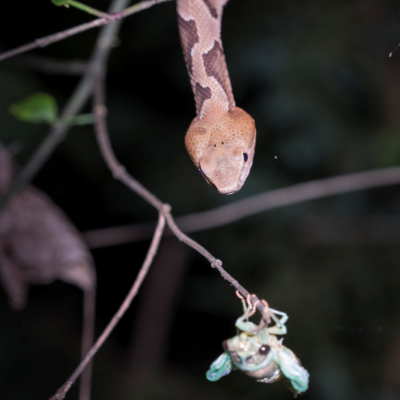 A copperhead snake moves in to feast on a freshly emerged cicada. Photo: Mike Dunn