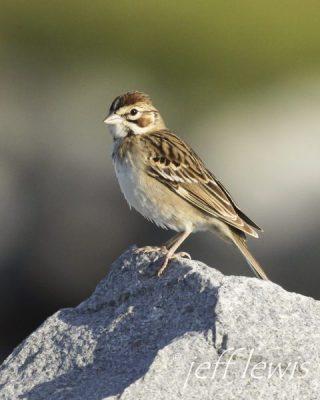 A lark sparrow. Photo: Jeff Lewis