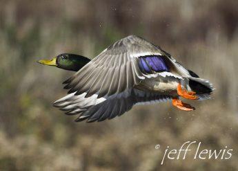 A mallard takes flight. Photo: Jeff Lewis