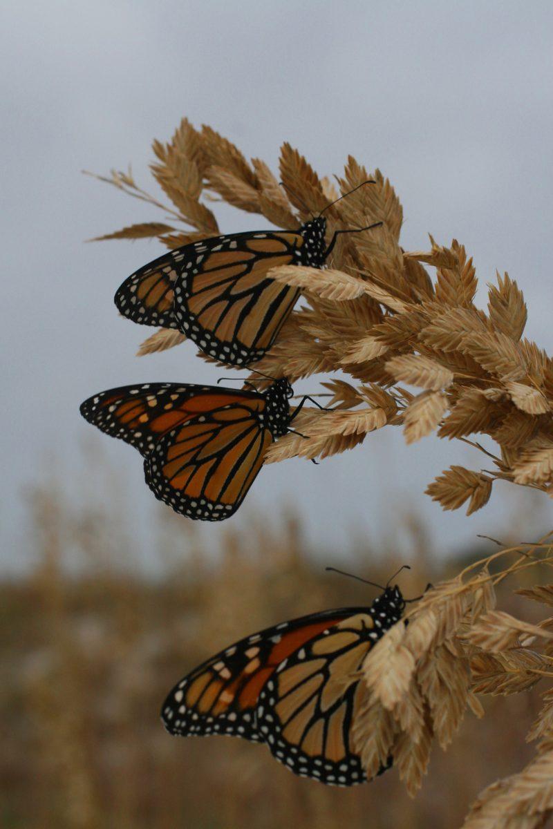 Migrating monarchs arrive on the coast. Photo: Sam Bland