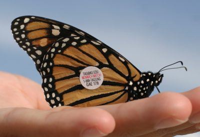 A tagged monarch is ready for release. Photo: Sam Bland