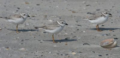 Populations of piping plover, including those listed as threatened and endangered, have been documented at Figure Eight Island's north end. Photo: Sam Bland