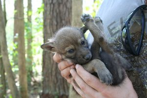 A captive-bred red wolf pup. Photo: Ryan Nordsven/USFWS