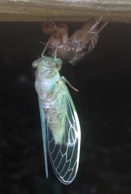 A winged adult cicada emerges from its exoskeleton. Photo: Rachel Bisesi