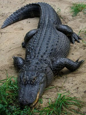The American Alligator can reach 11 feet in length. Photo: Wikipedia