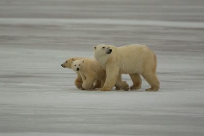 A mother and her cubs retreat from a nearby male. Photo: Sam Bland