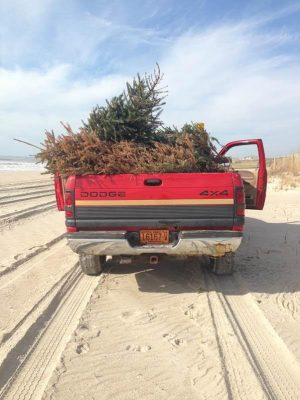 A Pine Knoll Shores town truck is used to carry trees to a spot along the dunes. Photo courtesy Pine Knoll Shores
