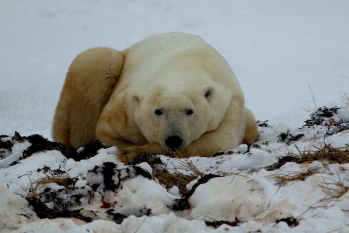 A polar bear rests in surprisingly moderate temperatures for November in Manitoba, Canada. Photo: Sam Bland