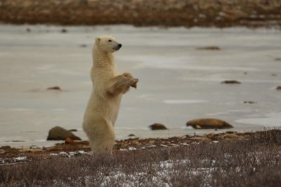 A young female polar bear rises to get a better view of her surroundings. Photo: Sam Bland