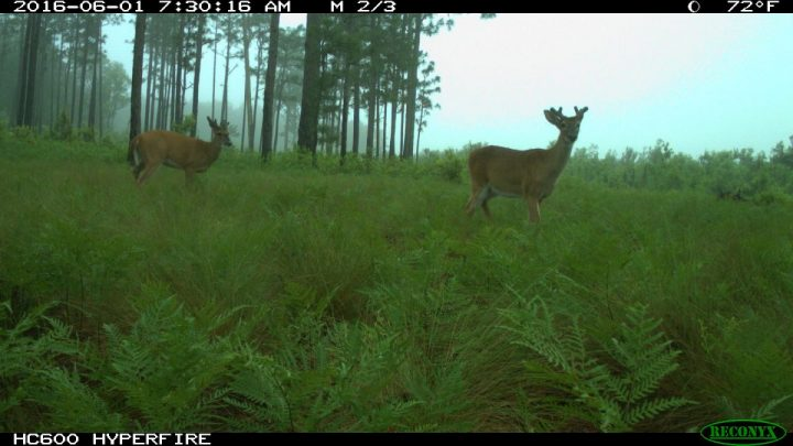 Two white-tailed deer are shown in Jones County. Photo: N.C. Candid Critters