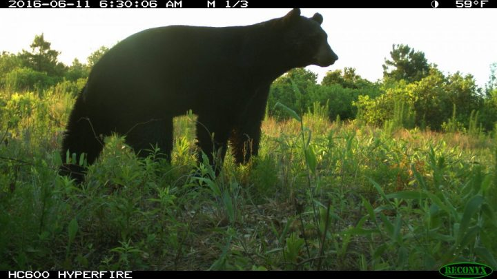 A black bear is captured in this image from Jones County. Photo: N.C. Candid Critters
