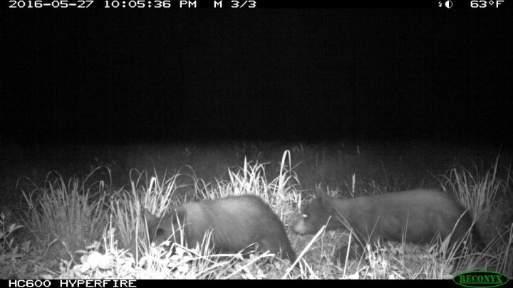 Two black bears are shown in Onslow County. Photo: N.C. Candid Critters