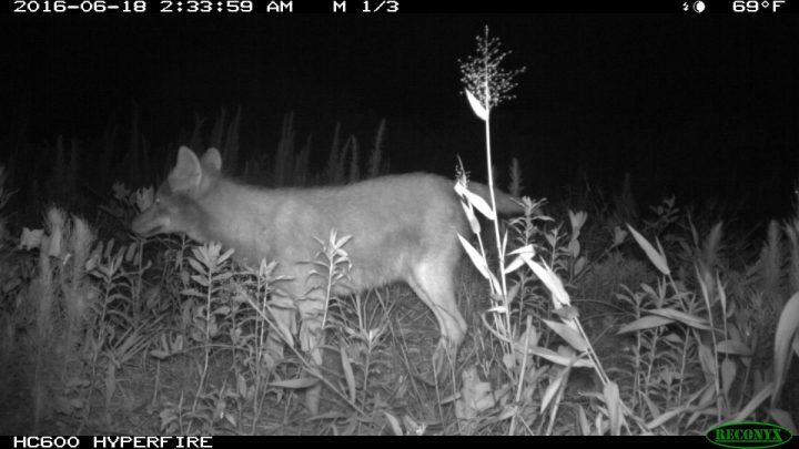 A coyote is shown in Jones County. Photo: N.C. Candid Critters