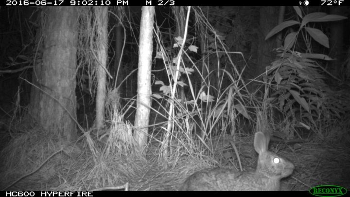 A cottontail rabbit is shown in Carteret County. Photo: N.C. Candid Critters