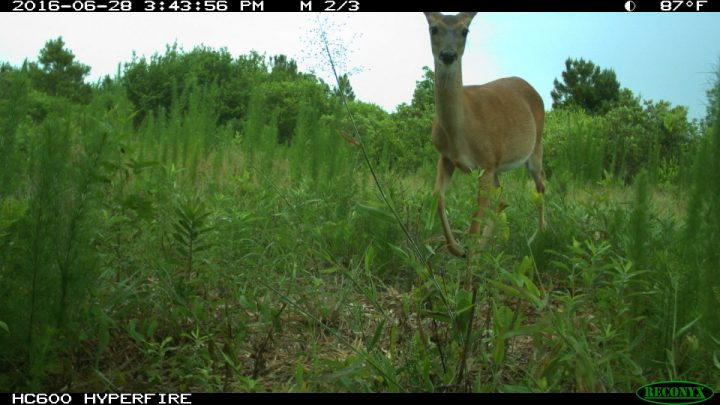 A white-tailed deer is shown in Jones County. Photo: N.C. Candid Critters