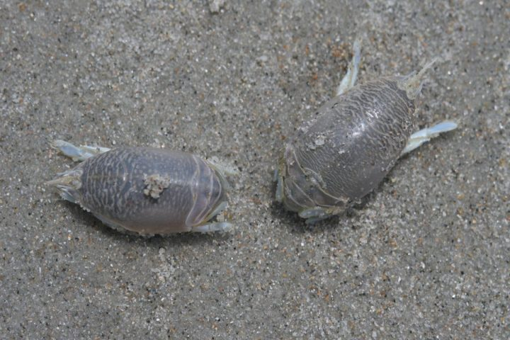 A pair of mole crabs. Photo: Sam Bland
