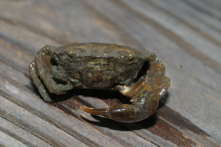 A Harris, or white finger, mud crab. Photo: Sam Bland