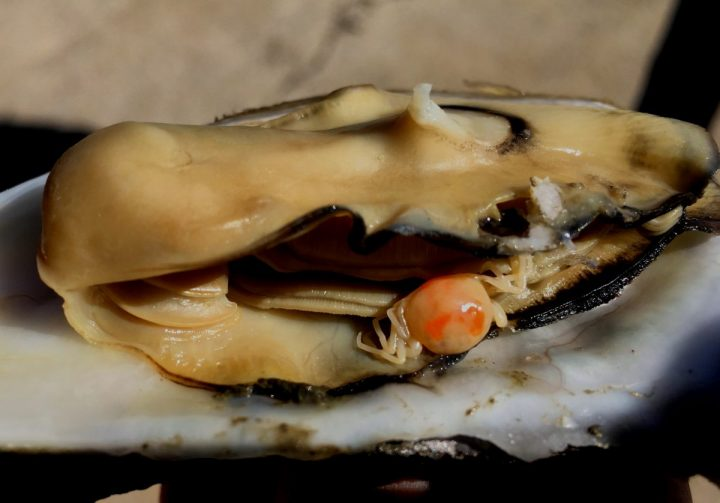 A pea crab as found inside an oyster. Photo: Rachel Bisesi