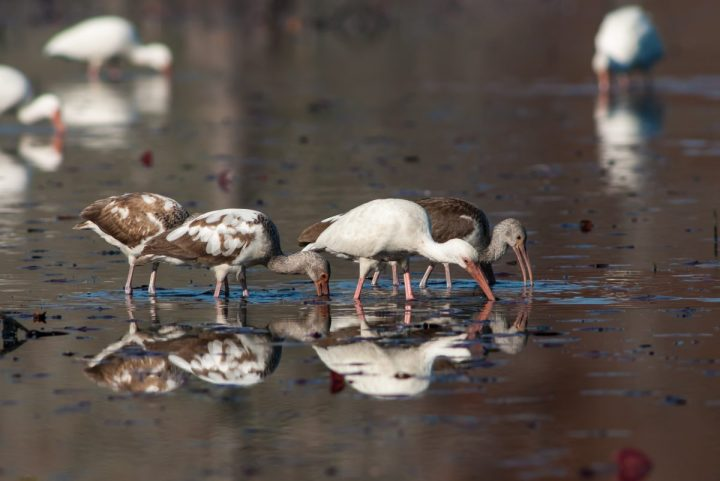 Fledgling white ibises, in brown plumage, join their elders on a hunting expedition. Photo: Walker Golder/Audubon