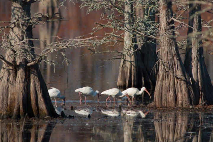 Swamps are a favorite foraging spot of white ibis. Photo: Walker Golder/Audubon