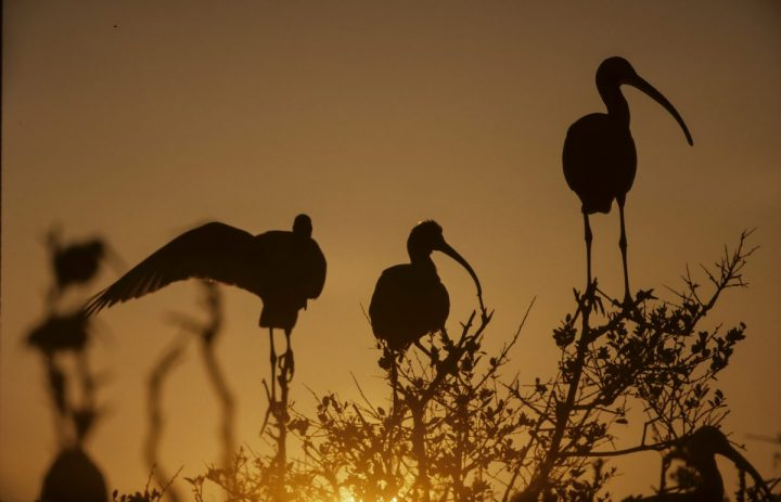 Silhouetted by the sun, white ibis share a tree on Battery Island. Photo: Walker Golder/Audubon