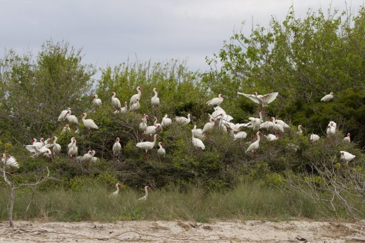 Trees and shrubs on Battery Island, an Audubon-managed sanctuary at the mouth of the Cape Fear River, are heavy with white ibis arriving from more southerly climates in the spring. Photo: Lindsay Addison/Audubon