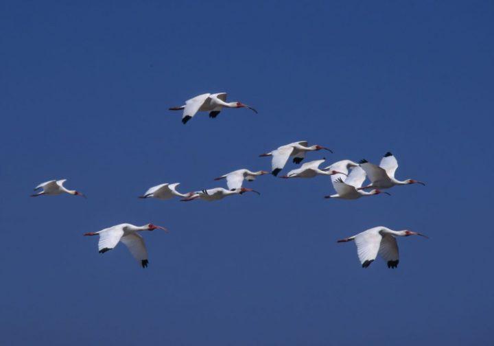 White ibis nest, and fly, in groups. Photo: Walker Golder/Audubon
