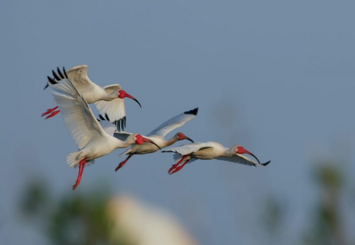 Colorful flight: Red beaks and legs distinguish the white-bodied white ibises. Photo: Walker Golder/Audubon