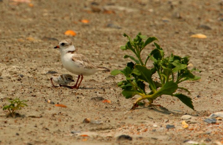 Beach temperatures are so hot that eggs and chicks need the parents to act as an umbrella. Human activities that threaten the adults, forcing them to take flight, leave the eggs and chicks vulnerable to the deadly heat. Photo: Sam Bland