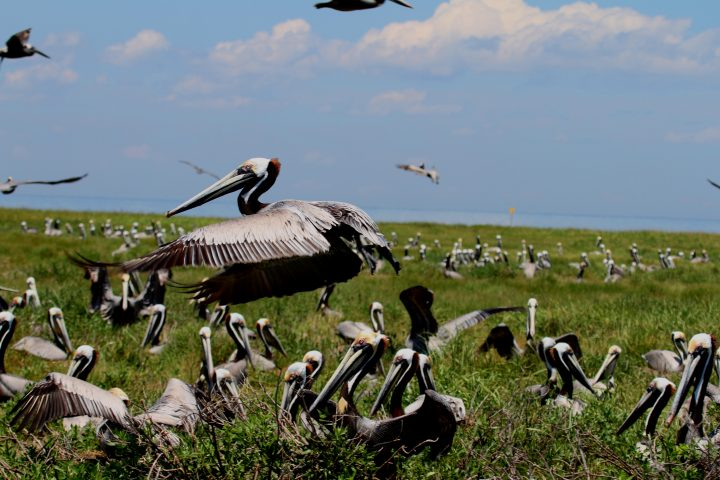 Out in the sounds and estuaries, small isolated islands provide a refuge from some predators and are favored by pelicans and egrets. Most of these islands are also posted and prohibit entry. Photo: Sam Bland