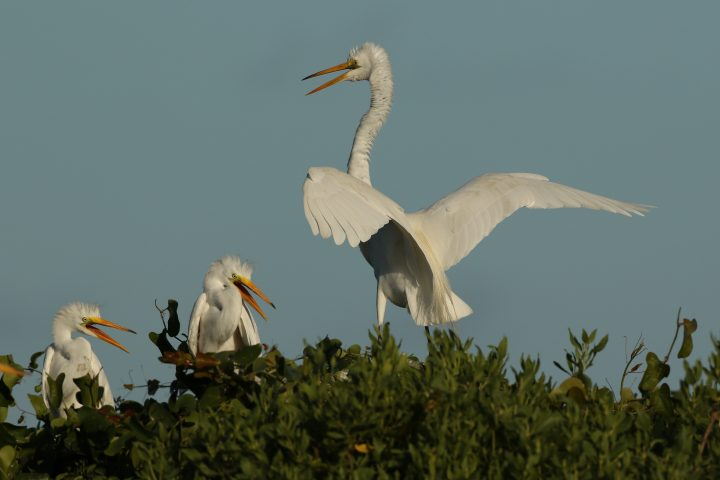 Great egrets will nest among the maritime shrub thickets found on some isolated islands. Here, a parent returns to the nest to feed the growing chicks. Photo: Sam Bland
