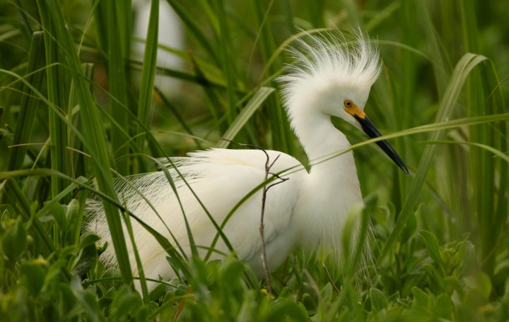 Snowy egrets also favor islands with some vegetative cover. Photo: Sam Bland