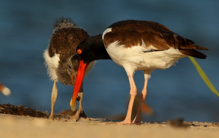 For a while, all chicks rely on their parents to feed them and teach them to feed for themselves. Here, an oystercatcher chick enjoys a fresh oyster. Photo: Sam Bland
