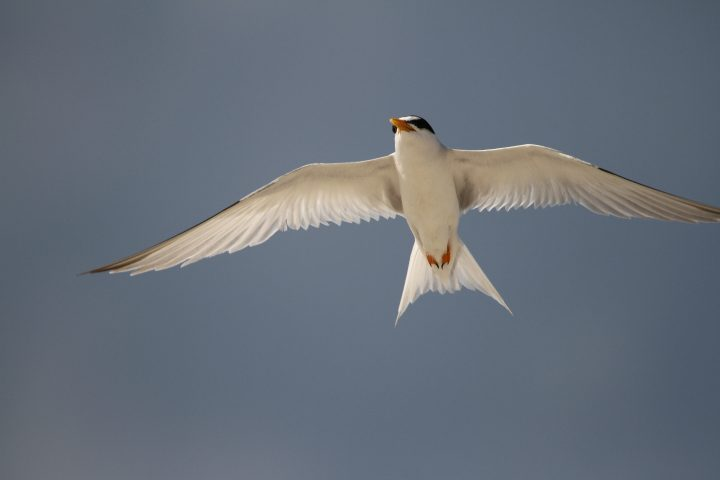 """It is easy to know when you are near a nesting site. The birds have a number of ways to discourage or distract you from their nests. Here, a least tern demonstrates their aerial attack of """"mobbing"""" an intruder. Their bills can carve out a piece of your scalp, or worse yet, they'll poop on you! Photo: Sam Bland"""