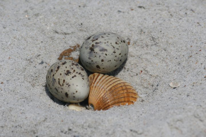 Tiny eggs are placed on the ground in small cups that are scraped into the sand. Their markings render them nearly invisible among the beach sand. Photo: Sam Bland