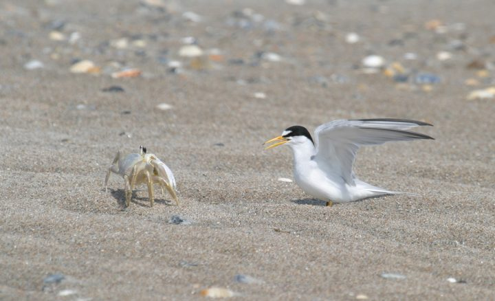 The eggs and chicks must also survive predators such as raccoons and snakes. Here, a least tern fends off a ghost crab. Photo: Sam Bland
