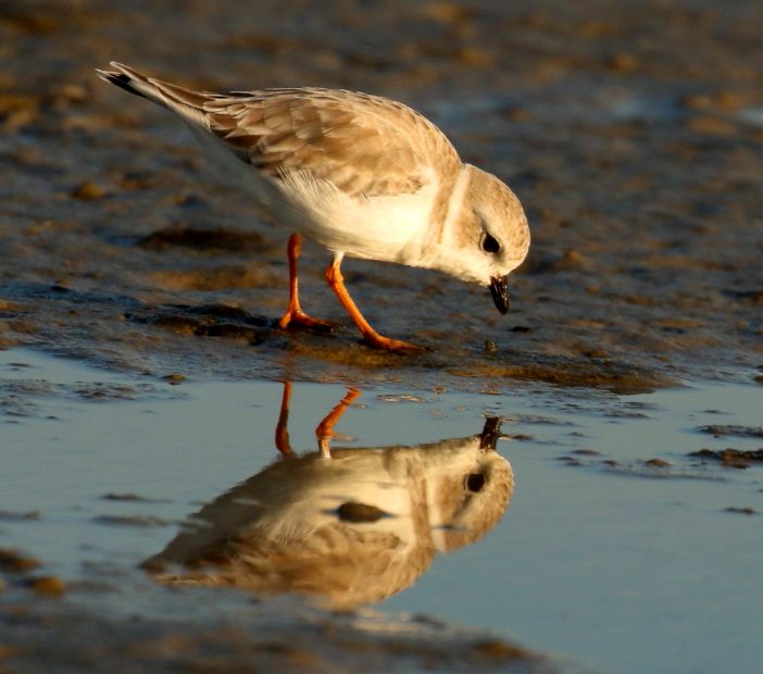 A number of the nesting shorebirds, such as the state and federally threatened piping plover, are in peril. Photo: Sam Bland