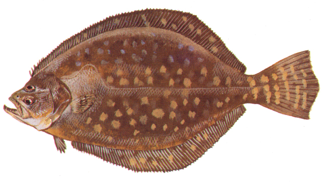 Southern flounder. Image: NCDMF