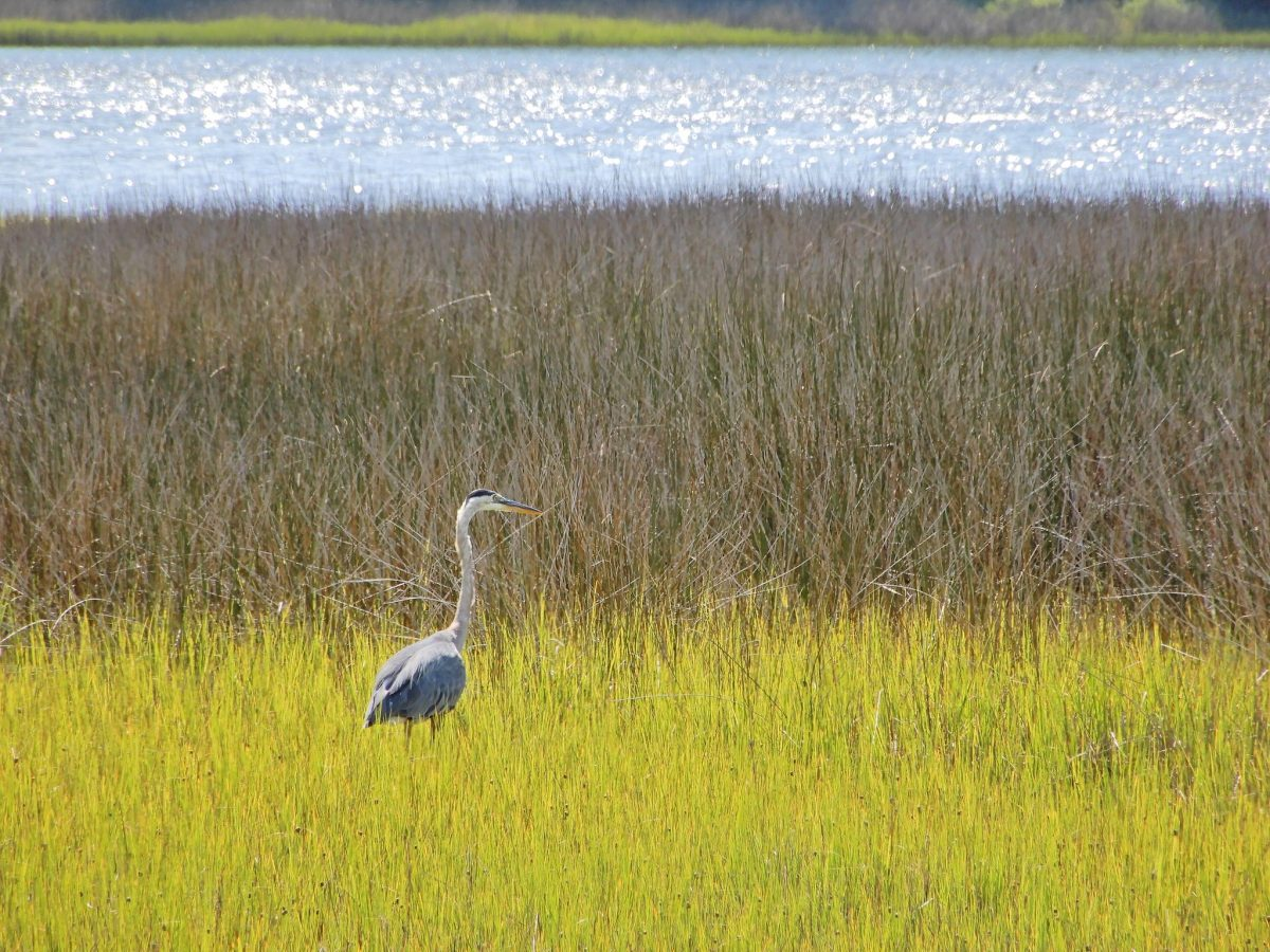 A great blue heron in the marsh in Cedar Point. Photo:  North Carolina Division of Water Resources