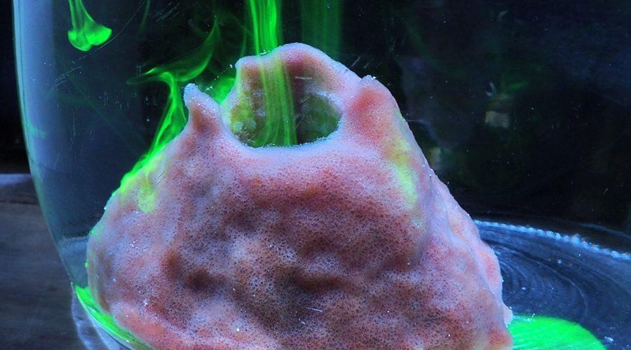 A baby giant barrel sponge (Xestospongia muta) pumps fluorescein dye in a glass jar. Photo: Joseph Pawlik