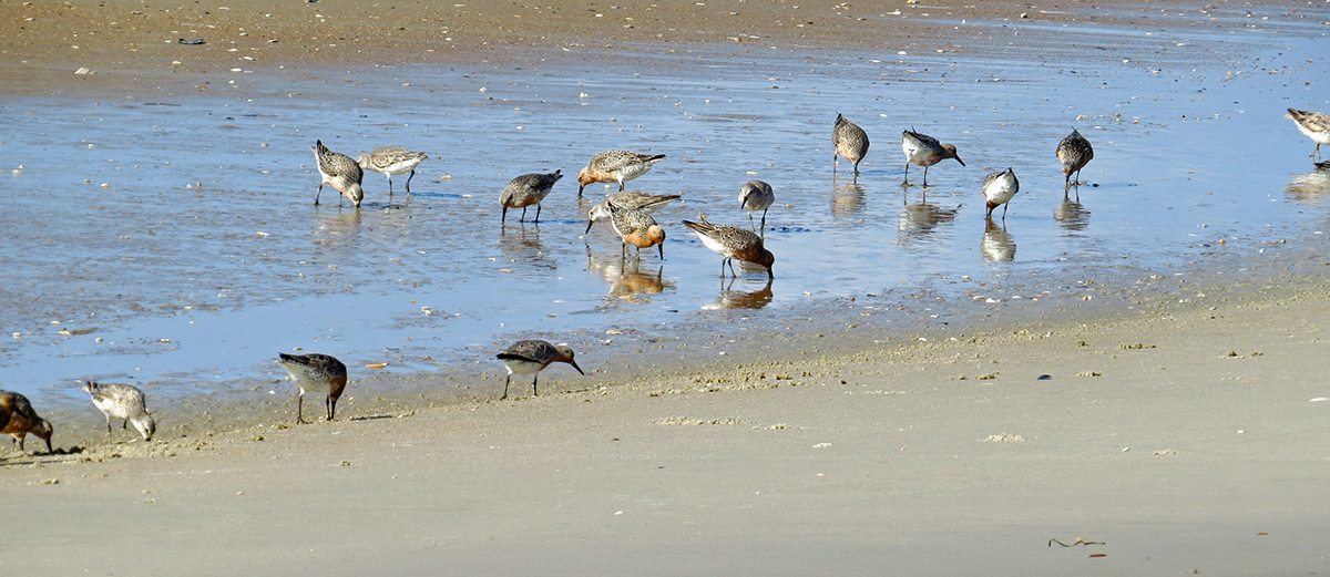 Red knots are shown during spring migration on Ocracoke Island. Photo: Peter Vankevich