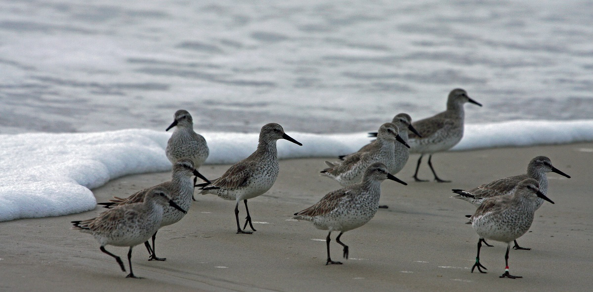 Red knots in basic plumage wintering on Ocracoke Island. Note the red and white band on individual in front right. Photo: Peter Vankevich