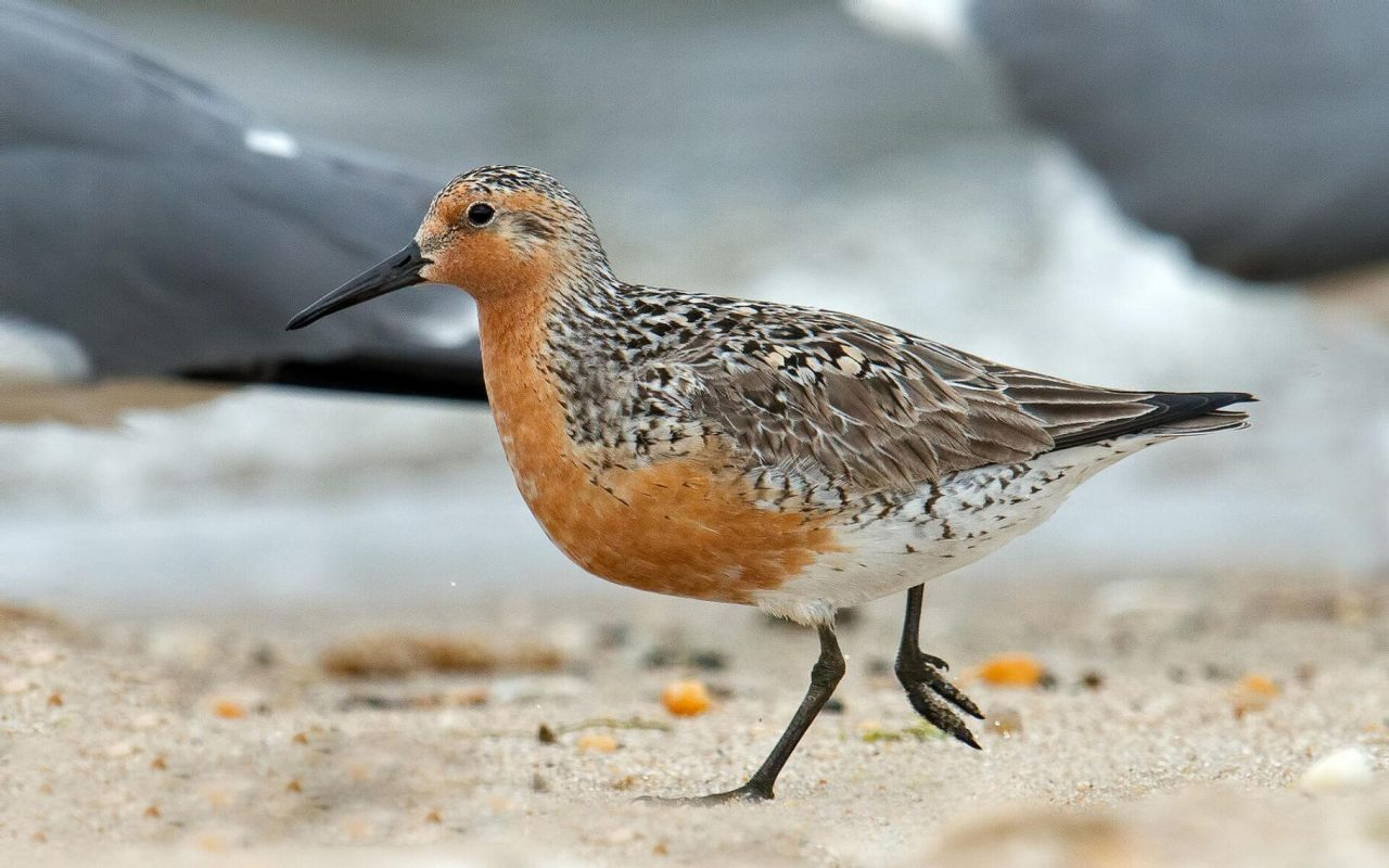 The U.S. Fish and Wildlife Service has proposed designating all Bogue Banks beaches as critical habitat for the rufa red knot, a threatened small sandpiper. Photo: Audubon Field Guide photo