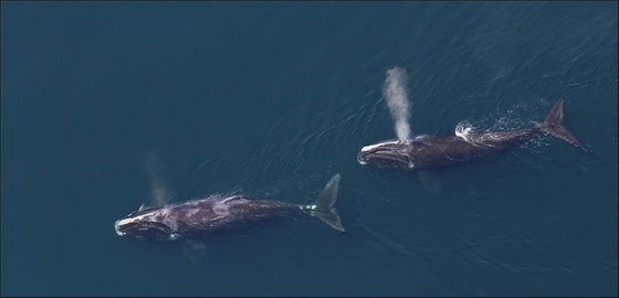 NOAA Fisheries is proposing to modify the Atlantic Large Whale Take Reduction Plan. Photo: NOAA