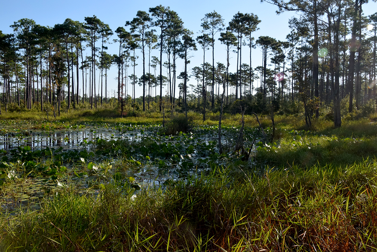 Patsy Pond in the Croatan National Forest in Carteret County. Photo: Mark Hibbs