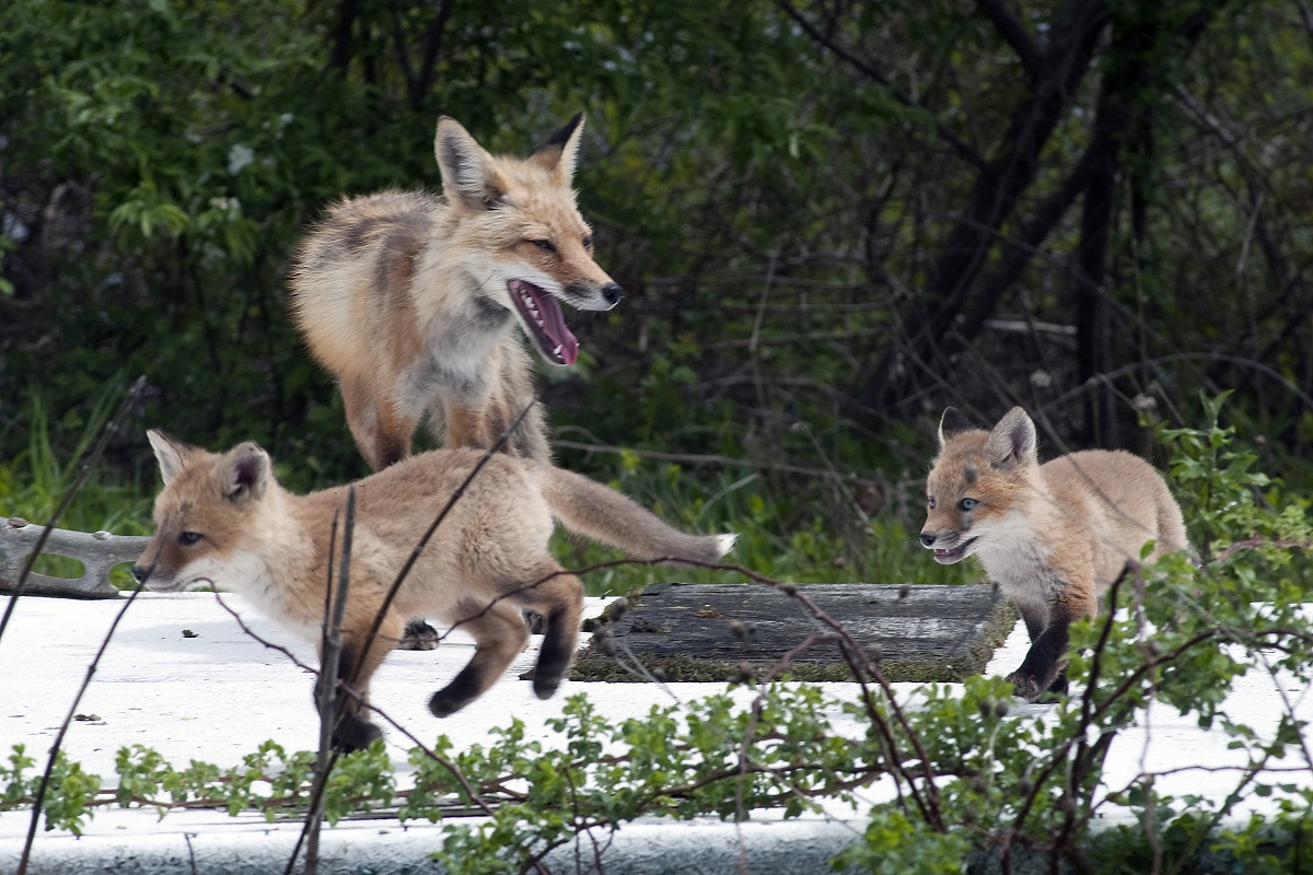 A red fox frolics with two kits on a beached dock. Photo: Robert Michelson