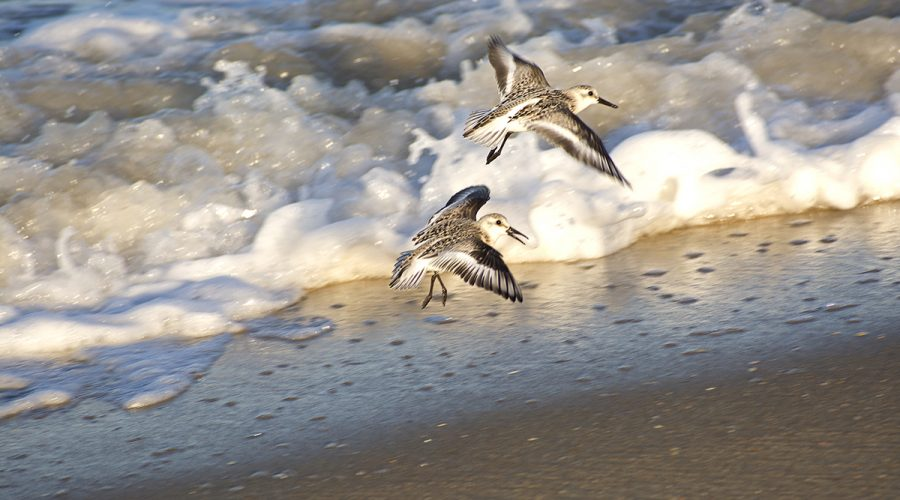 Sanderlings take flight over the beach in Kitty Hawk. Although a familiar and common sight on beaches around the world, this migratory species' numbers may be in serious decline in the Americas, with surveys showing as much as an 80% drop since the early 1970s, according to Audubon. Photo: Kip Tabb